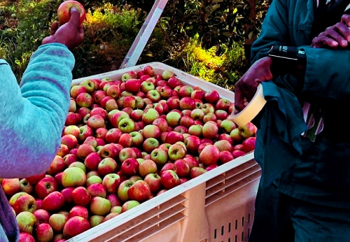 Apple Harvesting With Gt 1